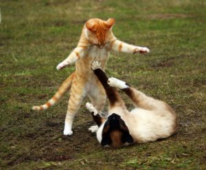 briga gato