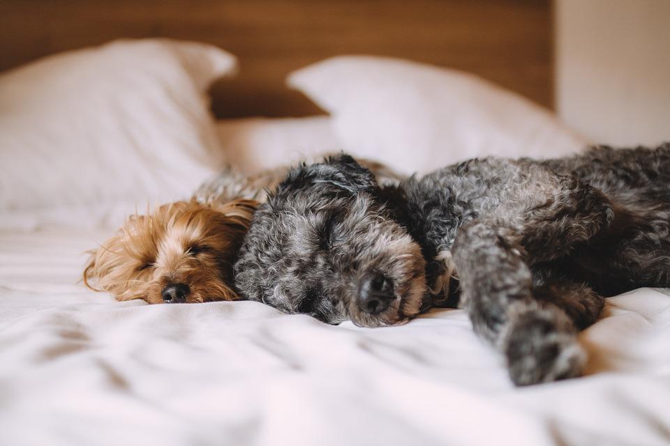cachorros sonham