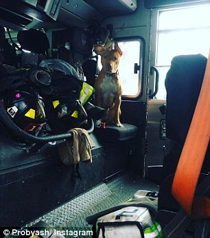 pitbull resgatada