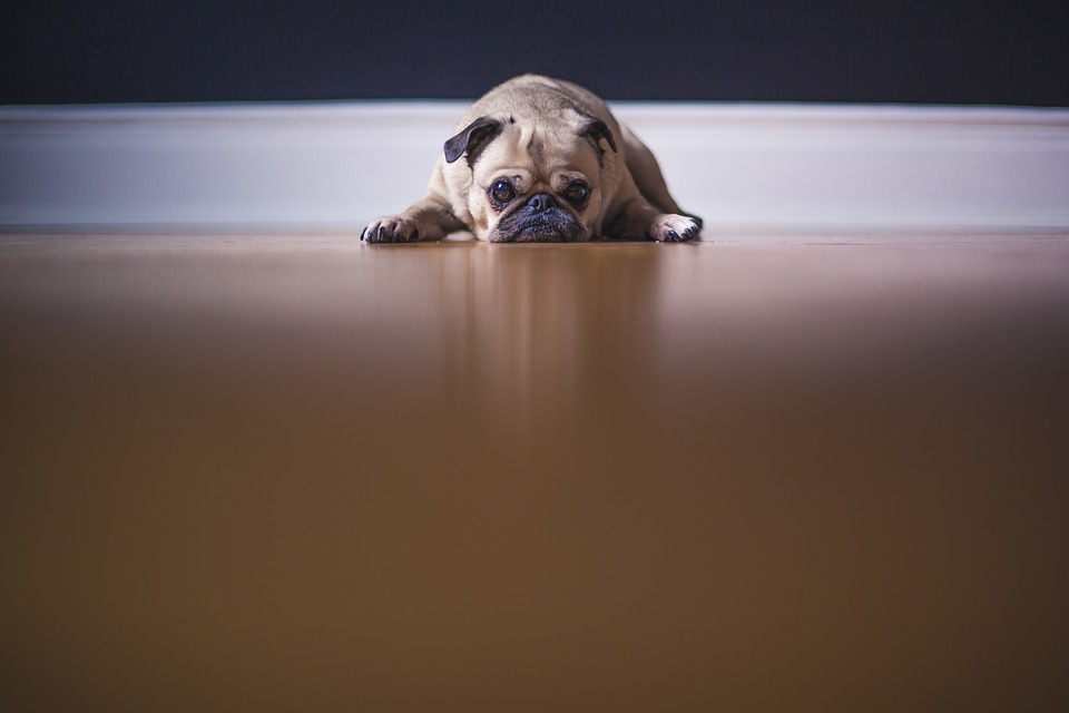 cachorro está com diarreia