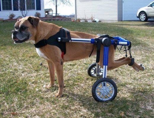 paralisia em cães