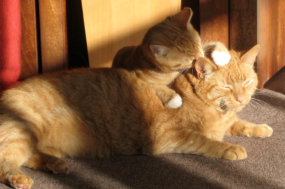 seu gato te lambe