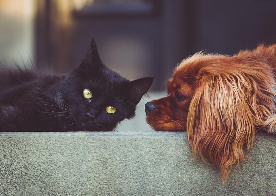 cães são inimigos dos gatos