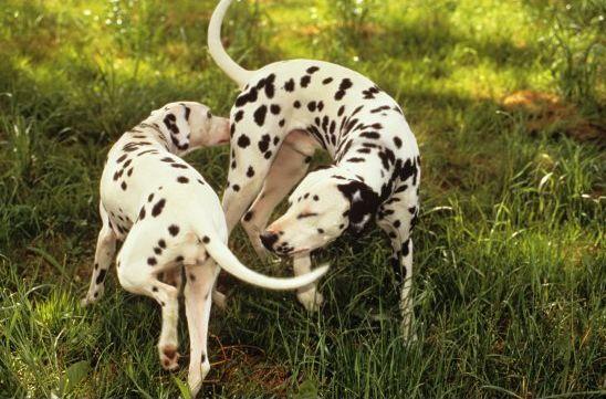 cachorros cheiram o rabo